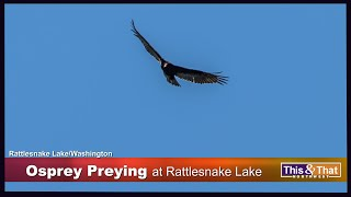 Osprey Diving For Their Prey at Rattlesnake Lake