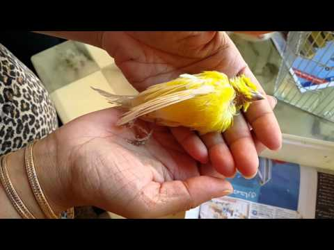Our Canary Tweety died RIP 21.02.2016