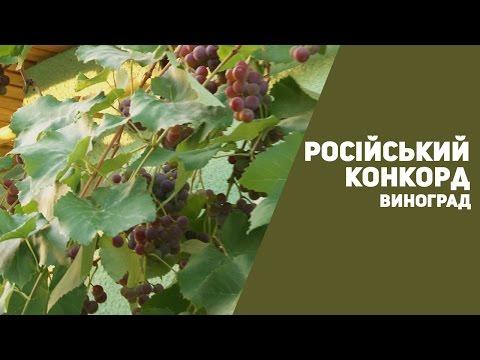 Виноград Російський Конкорд