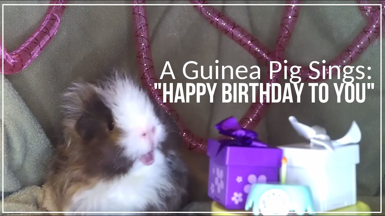 A Guinea Pig Sings Happy Birthday To You Youtube