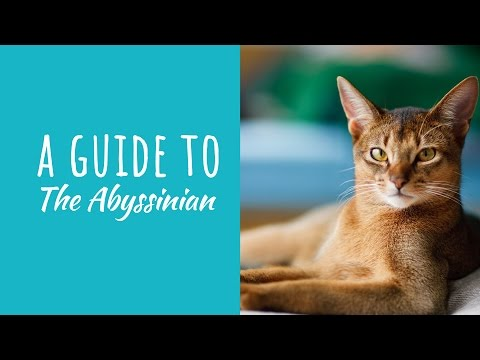 A Guide To The Abyssinian Cat