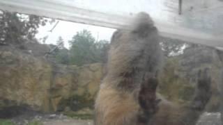 Zoo Opole - Piesek Prewiowy atakuje (Prairie dog attacks)