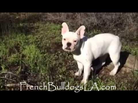 French bulldog white female