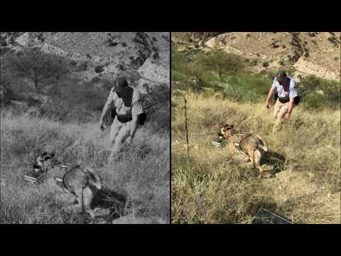 Catalina K9s Mountain Training Live Find & HRD