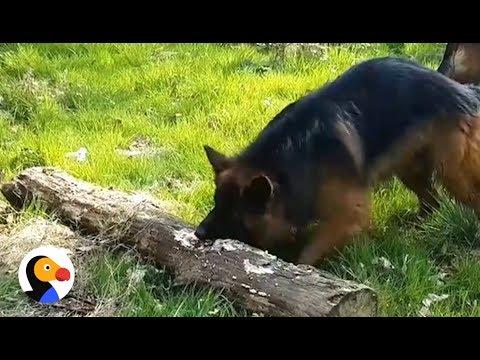 German Shepherd Finds Biggest Stick EVER | The Dodo