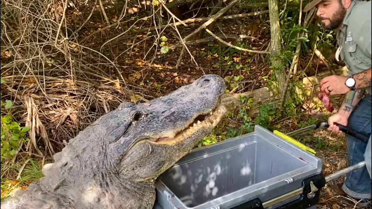 Predator the Huge American Alligator! VLOGMAS DAY 1 - YouTube