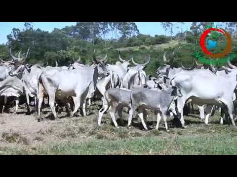 Brazil-The land of Indian Desi Cattle breeds
