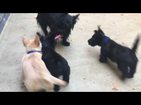 Scottie Puppies - 12 weeks