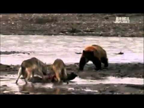 最強動物戦い Animal Fight. ワニvsカバ、チータvsライオン、クマ
