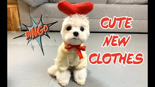 Maltese dog tries clothes first time ! Very funny dog video Cute puppy