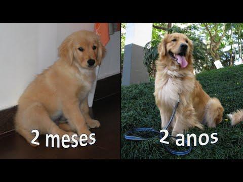 Crescimento do Bruce - Golden Retriever | Roberta Duarte