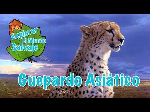 guepardo-asiático-en-explorar-el-mundo-salvaje