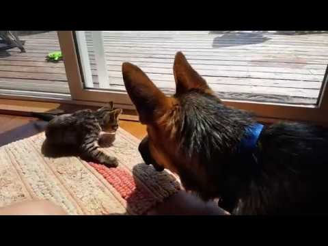 Kitten Meets German Shepherd for the First Time | Introducing Cat and Dog