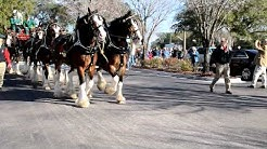 The Budweiser Clydesdales  in Jacksonville FL