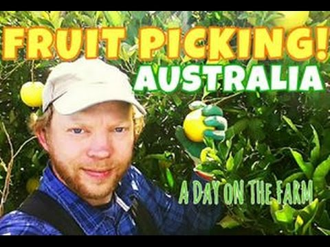 FRUIT PICKING ORANGES IN AUSTRALIA