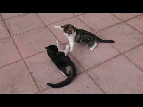Real Fight Between Cat & Kitten In 4K Ultra HD 2160p resolution Video