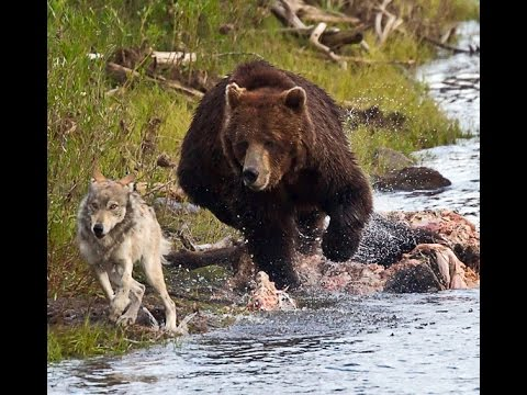 Really Cute Thanksgiving Wallpaper Documentary National Geographic Grizzly Bear Vs Wolf