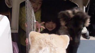 子供部屋で賑やかに遊ぶ 孫達とジャーマンシェパード犬マック 秋田犬 惣...
