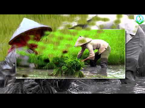 Rice production|Organic farming in Vietnam |Vina Volunteer Service