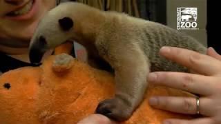 Tamandua Pup is Getting Bigger - Cincinnati Zoo