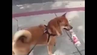 Video Tututututu tutututu! [Most Funny Dog] download MP3, 3GP, MP4, WEBM, AVI, FLV Juli 2018