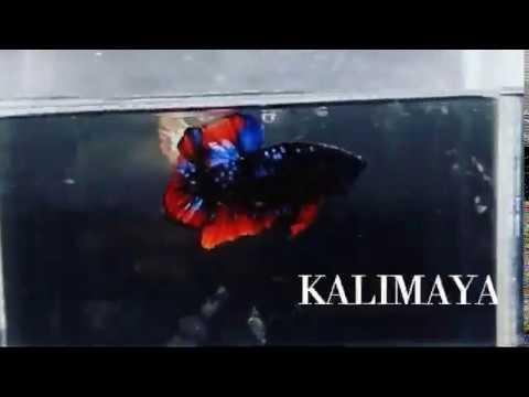 Kalimaya Asli Youtube