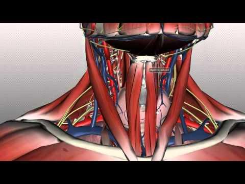 Neck Anatomy - Organisation of the Neck - Part 1