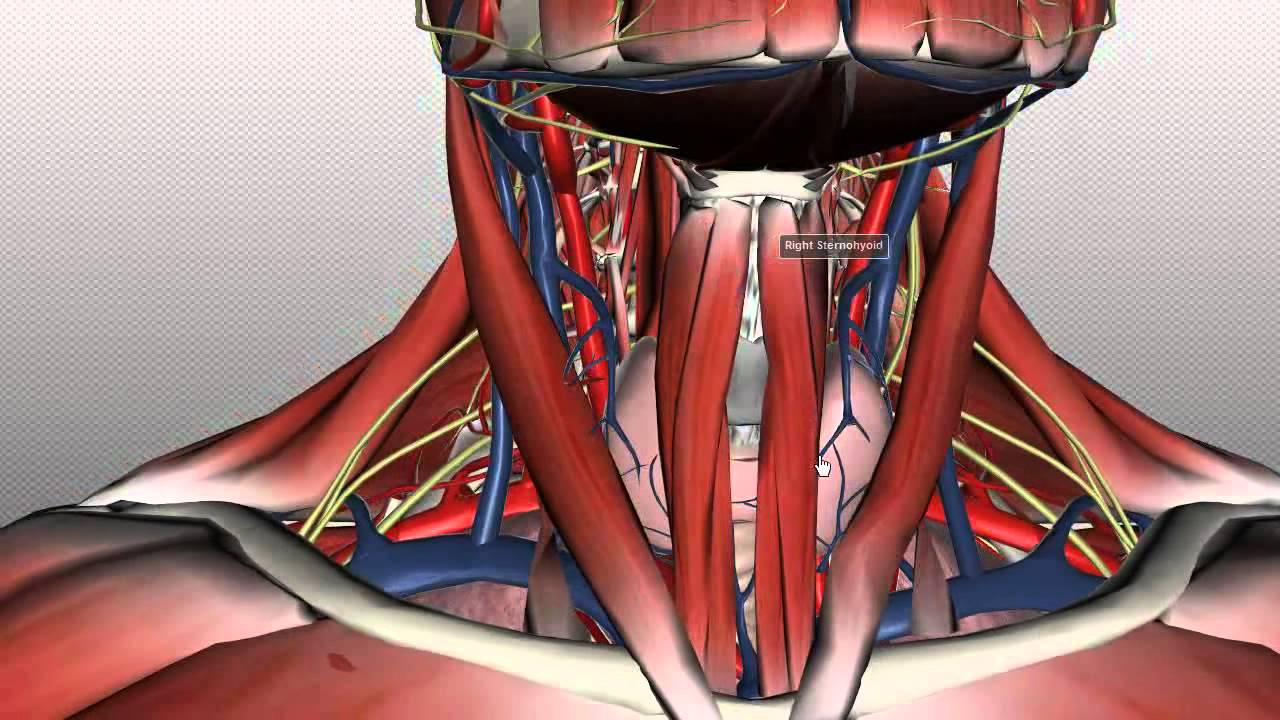 part of the neck diagram [ 1280 x 720 Pixel ]