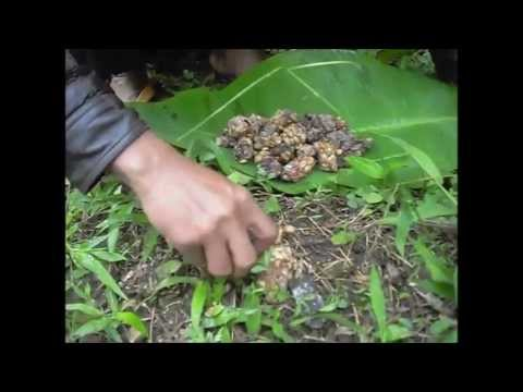 Authentic Wild Kopi Luwak (Civet Coffee) Process - JPW Coffee