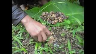 Authentic Wild Kopi Luwak (Civet Coffee) Process - JPW Coffee