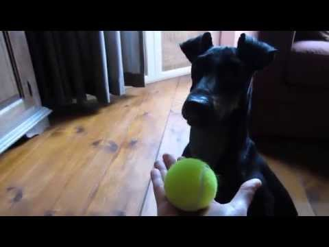 Chester the Manchester Terrier: hurrah! a new supply of balls has arrived