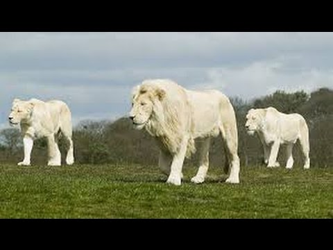 Lion Documentary National Geographic  SACRED LIONS WHITE LIONS Special HD 2016