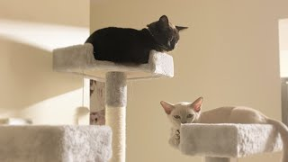 Two Burmese cats.