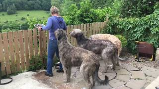 A Day in the Life: Irish Wolfhound Edition