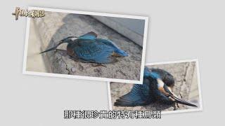 窗殺 鳥類的死亡危機 單元1|共建友善環境|華視新聞雜誌 EP2238|2020.09.04