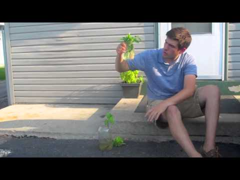 How To Get Mint, Tomato and Basil Plants for FREE Using Water!