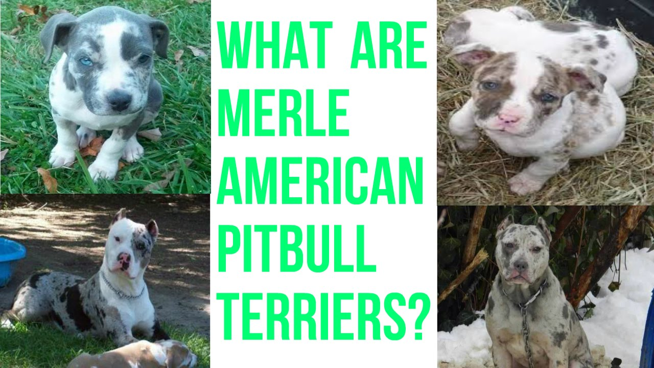 What Is A Merle Pitbull???