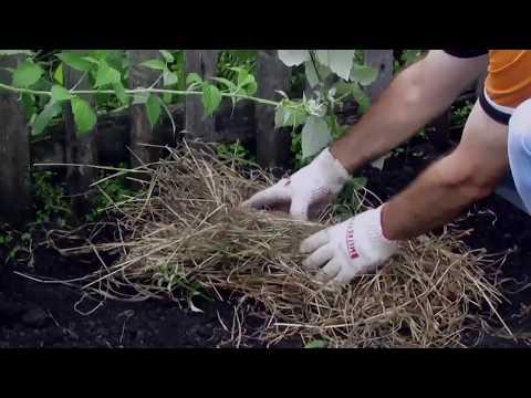 Как размножается черная малина