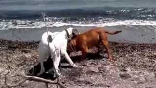 Dogue De Bordeaux Vs Great Dane