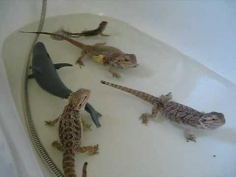 & Bearded Dragons swim with shark!!! - YouTube