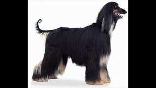 Afghan Hound ~ Puppies for Sale, by Pets4You.com