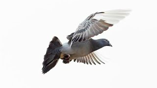 How to increase pigeons flying timing part  1