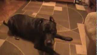 Питбуль выполняет команды за печенье(Моя собака любит печенье,и доказывает это выполнением команд., 2013-10-21T15:49:55.000Z)