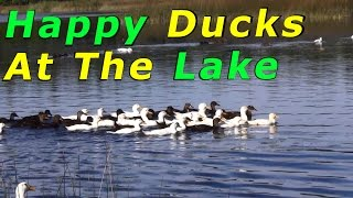 Ducks At The Lake & Aerial View Of Morning Rush #18 Raising Free Range Ducks
