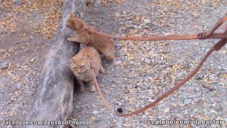 Ginger Kitties Walking in Mountains