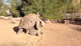 giant turtle having sex in Phoenix zoo