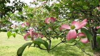はなみずき アメリカ山法師(やまぼうし))(Flowering dogwood)水木(...