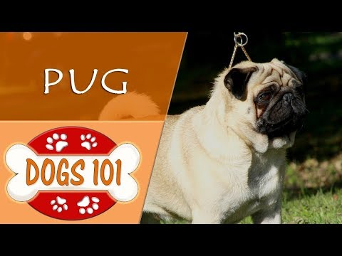 Dogs 101 - PUG - Top Dog Facts About the PUG