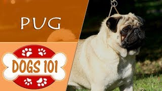 Dogs 101  PUG  Top Dog Facts About the PUG