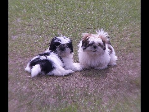 shih tzu breeders in virginia shih tzu puppies dogs for sale in norfolk county 344